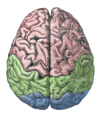 A schematic brain depicted from above (Source: [url=http://commons.wikimedia.org/wiki/File:Cerebral_lobes.png]Wikimedia commons[/url])